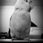 lovebird closeup